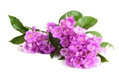 Garlic vine, flowers. Royalty Free Stock Photography