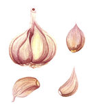 Garlic watercolor isolated illustration Stock Photos