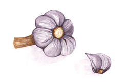 Garlic watercolor painted illustration Stock Images