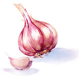 Garlic. watercolor painting on white background. Garlic, whole and slice. watercolor painting on white background Royalty Free Stock Photo