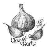 Garlic on a white background. sketch Stock Image