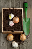 Garlics and onions in soil Stock Image
