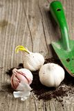 Garlics in soil with spade Royalty Free Stock Images