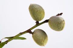 Garlicsmortel Arkivbilder
