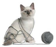 garn för birman kattunge för boll leka Arkivfoton