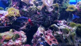 Garnaal en harde koralen, video van aquarium de diepe wateren stock videobeelden