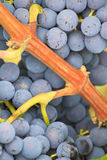 Garnacha Grapes Royalty Free Stock Photos