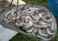Garnalen die de Zuid- van Louisiane alvorens Te verkopen worden gewogen Stock Fotografie