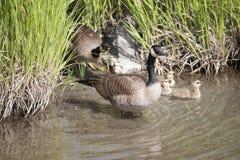Garncarki bagna rezerwata dzikiej przyrody zakotwienie Alaska Zdjęcie Stock
