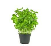 Świeża basil roślina Zdjęcia Stock