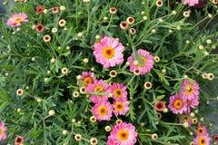 Garnek różowe stokrotki Zdjęcie Royalty Free