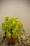Garnek rośliny Obrazy Stock