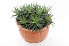 garnek roślinnych Zdjęcia Stock