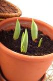Garnek tulipany kiełkujący i kosze Obraz Stock