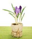 Garnek z krokusami na bambusowym płótnie Zdjęcia Stock