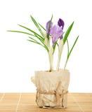 Garnek z krokusami na bambusowym płótnie Fotografia Stock
