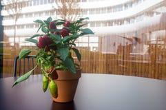 Garnek z pieprzem na ciemnym stole w popołudniowym Wroclaw Zdjęcia Stock