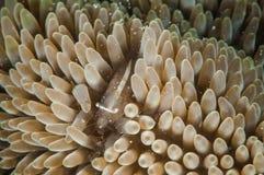 Garnele in Gorontalo, Indonesien-Unterwasserfoto Lizenzfreies Stockfoto