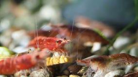 Garnele in ihrem natürlichen Lebensraum stock footage