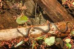 Garner snake on a log Stock Photo