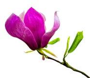 Garnering av få magnoliablommor blomma magnoliapinken Arkivfoto