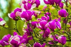 Garnering av få magnoliablommor blomma magnoliapinken Magnol Arkivfoto
