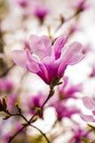Garnering av få magnoliablommor blomma magnoliapinken Magnol arkivbilder