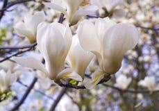 Garnering av få magnoliablommor Magnolia Rosa abloom magnoliablomma Royaltyfri Bild