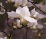 Garnering av få magnoliablommor Rosa abloom magnoliablomma Magnolia Royaltyfri Fotografi