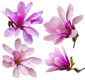 Garnering av få magnoliablommor rosa magnoliablommaisolat Royaltyfri Fotografi