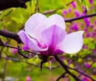 Garnering av få magnoliablommor rosa magnoliablommaisolat Arkivfoton