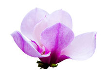 Garnering av få magnoliablommor rosa magnoliablommaisolat Royaltyfri Bild