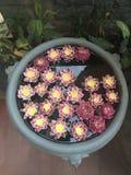 Garnering för Lotus blomma Massor av blommande purpurfärgad röd och gul näckros blommar bad i en stor blomkruka Arkivbild