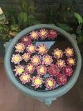 Garnering för Lotus blomma Massor av blommande purpurfärgad röd och gul näckros blommar bad i en stor blomkruka Fotografering för Bildbyråer