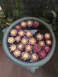 Garnering för Lotus blomma Massor av blommande purpurfärgad röd och gul näckros blommar bad i en stor blomkruka Royaltyfria Foton
