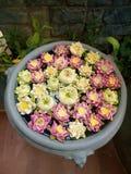 Garnering för Lotus blomma Massor av olik blommande purpurfärgad röd och gul näckros blommar bad i en stor blomkruka Fotografering för Bildbyråer