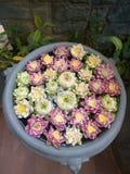 Garnering för Lotus blomma Massor av olik blommande purpurfärgad röd och gul näckros blommar bad i en stor blomkruka Arkivbilder