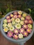 Garnering för Lotus blomma Massor av olik blommande purpurfärgad röd och gul näckros blommar bad i en stor blomkruka Royaltyfria Bilder