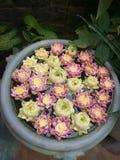 Garnering för Lotus blomma Massor av olik blommande purpurfärgad röd och gul näckros blommar bad i en stor blomkruka Royaltyfri Fotografi
