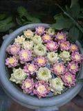 Garnering för Lotus blomma Massor av olik blommande purpurfärgad röd och gul näckros blommar bad i en stor blomkruka Royaltyfria Foton