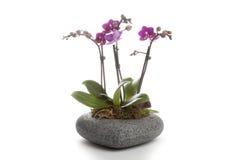 Garnering för Phalaenopsisorkidétabell royaltyfria foton