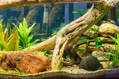 Garnering i akvarium Arkivfoton