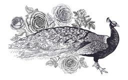 Garnering med fågeln och blommor Realistisk handteckningspåfågel och rosor som isoleras på vit bakgrund Vektorillustrationkonst stock illustrationer