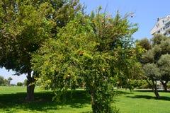 Garnet drzewo w Antalia Obrazy Royalty Free