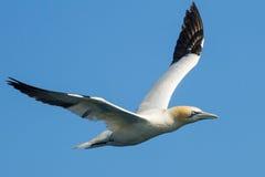 Garnet in flight Royalty Free Stock Photo