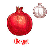 Garnet fruit vector sketch isolated icon. Garnet fruit sketch. Vector isolated icon of fresh whole pomegranate for jam and juice drink product label or grocery Stock Image