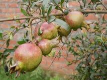 Garnet na drzewie Zdjęcie Royalty Free