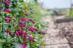 Garnet Penstemon Flowers Growing By trädgårdbana Fotografering för Bildbyråer