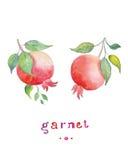 Garnet ręka rysująca akwarela na białym tle, również zwrócić corel ilustracji wektora ilustracja wektor