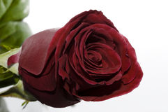 Garnet red rose Royalty Free Stock Images